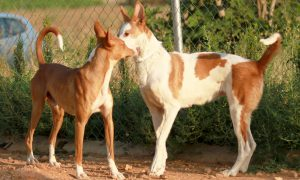 Podenco love_text